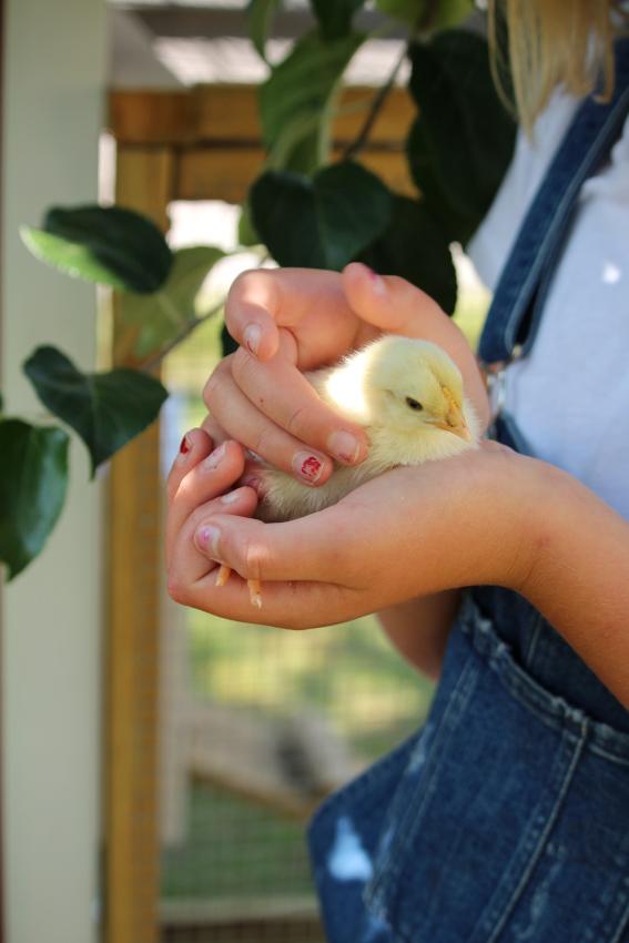 Lilla startpaketet kycklingar