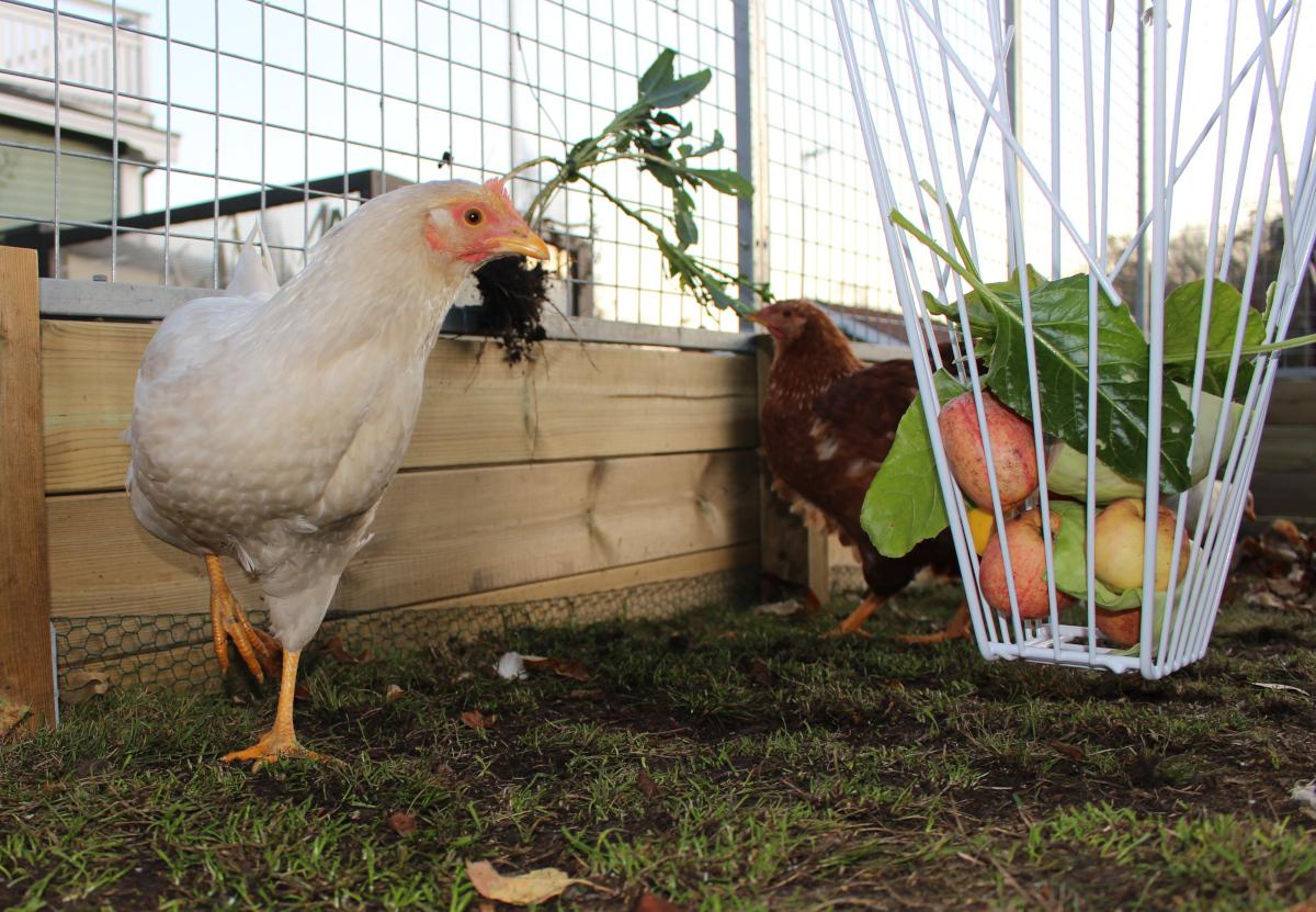 Höst i hönsgården